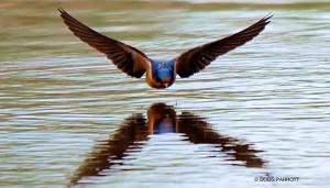 BarnSwallow_Parrott